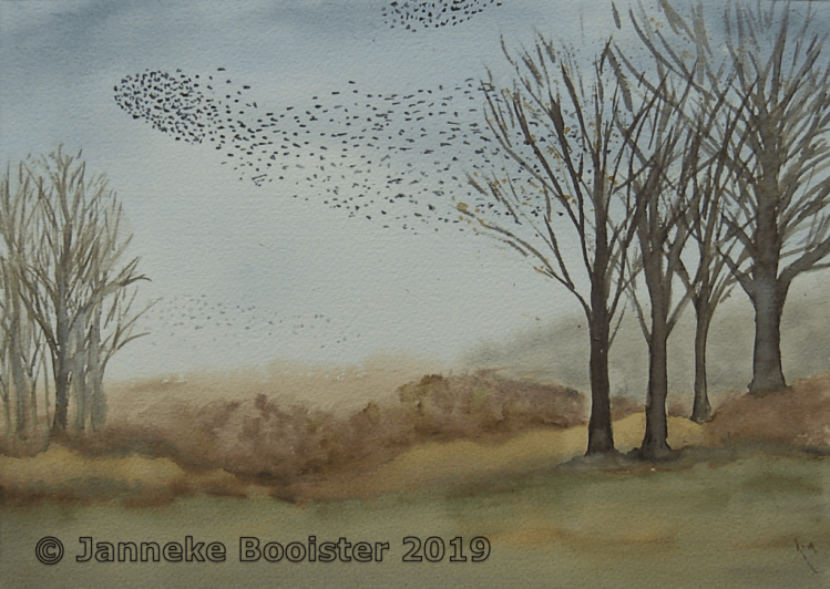 Starlings swarming. I have not seen them for some years but this year they are back! The hour before