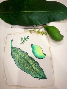 A mango leaf, flower head and small mango the birds knocked off the tree for nature walk prompt. F22