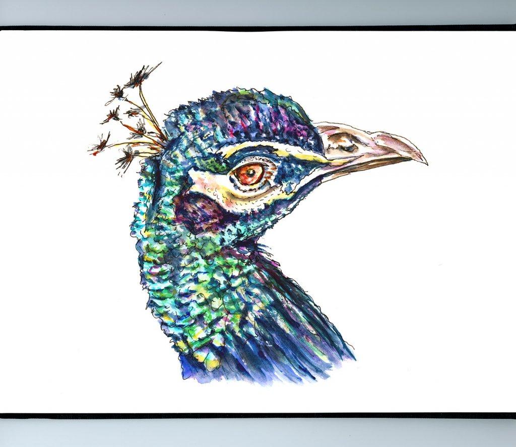 Day 8 - Peacock Watercolor Illustration - Doodlewash