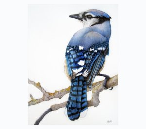 Blue Jay. Original 9 x 12 watercolor on Arches 140# CP (not) paper. Spirit of the Blue Jay: a symbol