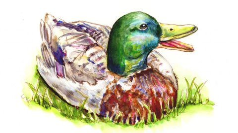 Mallard Duck Watercolor Illustration