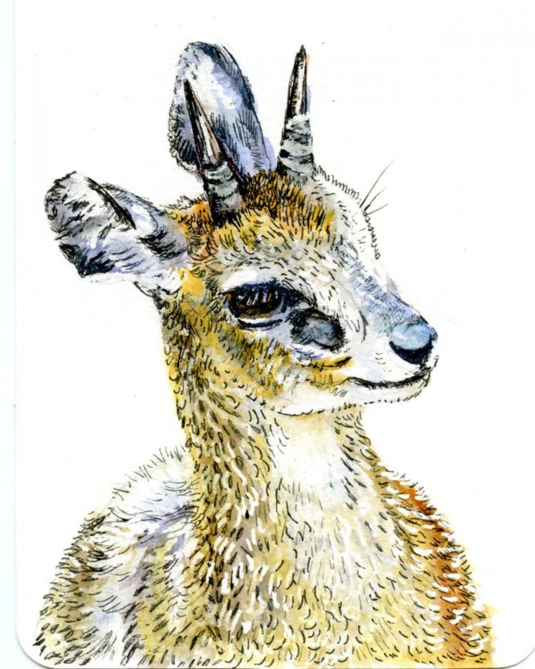 Prompt: Sandals. The tiny Klipspringer walks on tip-toe, as though wearing high-heeled sandals becau