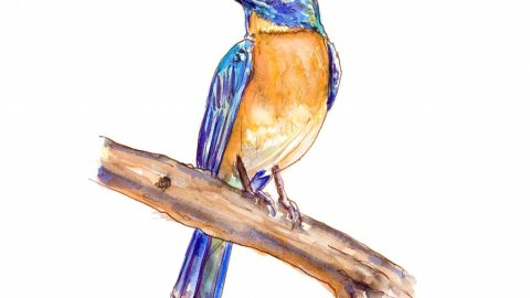Bird Blue Throated Flycatcher Watercolor Illustration