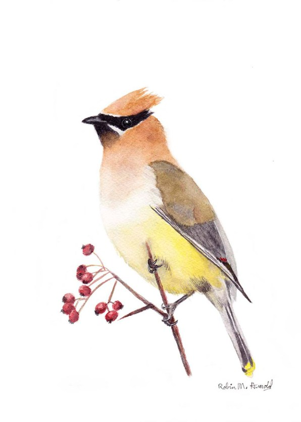 Cedar Waxwing Watercolor by Robin Arnold