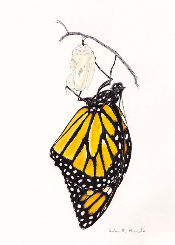 Monarch Butterfly Watercolor by Robin Arnold