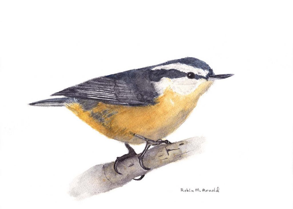 Nuthatch Watercolor by Robin Arnold