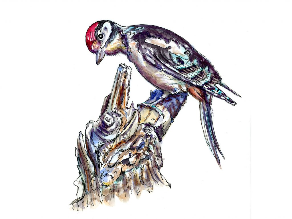 Lesser Spotted Woodpecker Watercolor Illustration