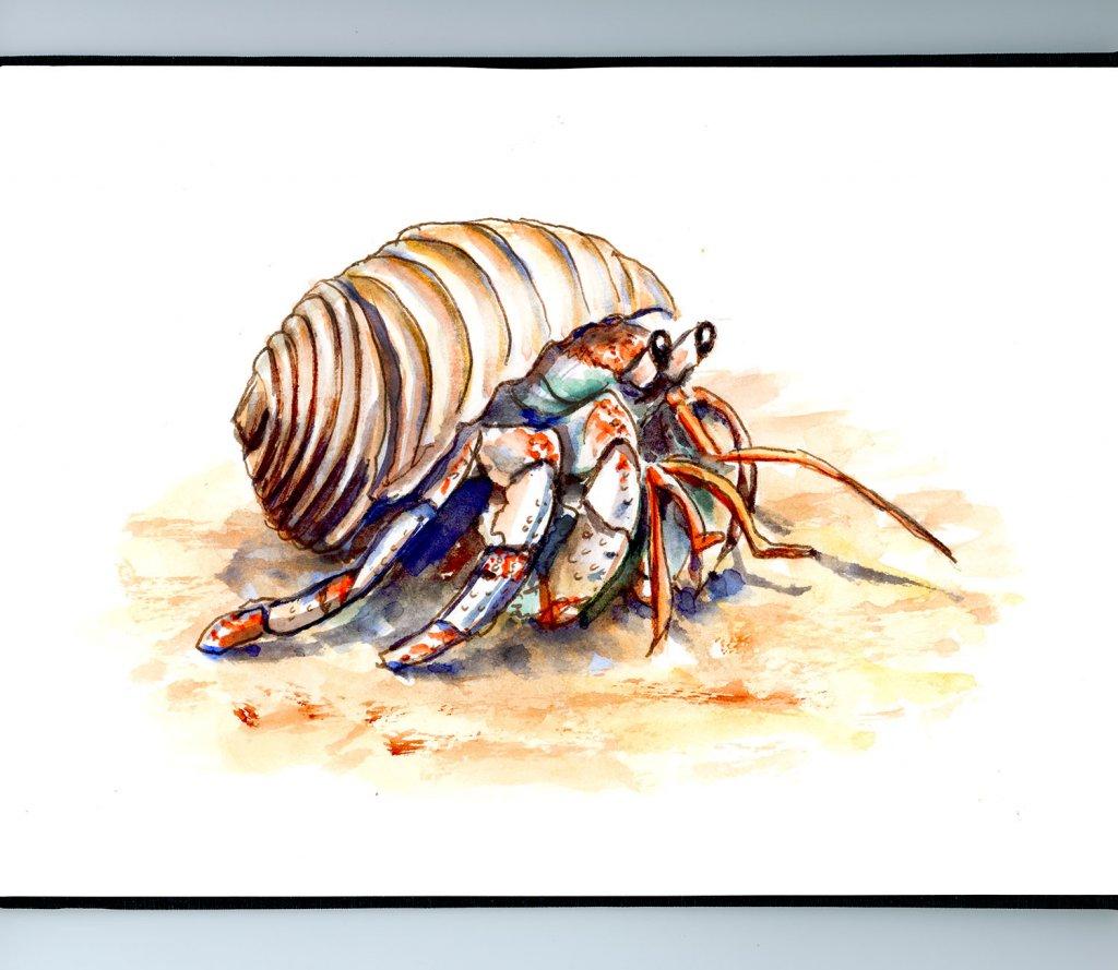 Hermit Crab Cute Watercolor Illustration Sketchbook Illustration