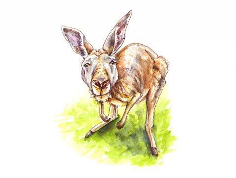 Kangaroo Curious Watercolor Illustration