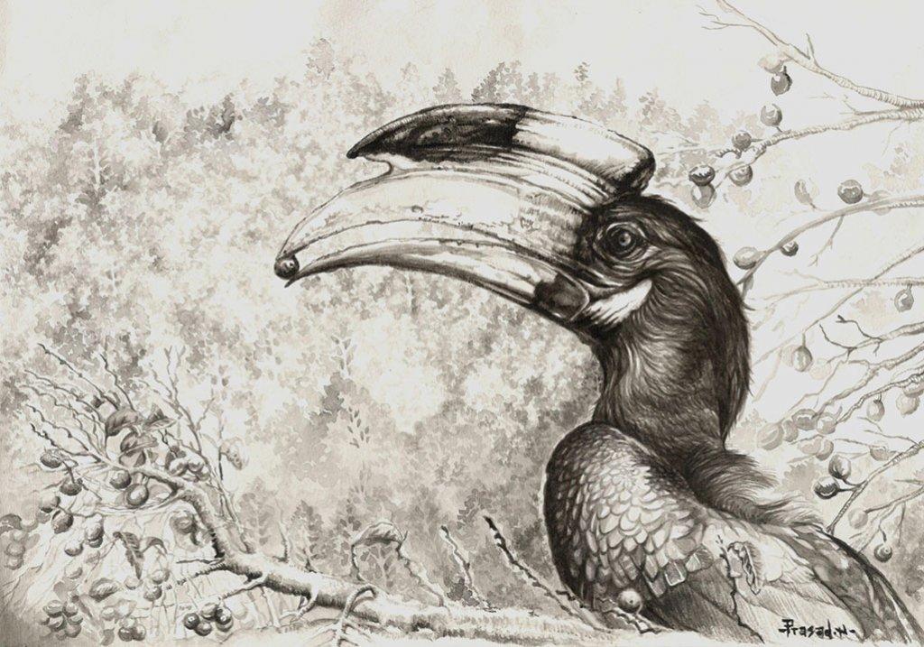 Malabar Pied Hornbill Drawing by Prasad Natarajan