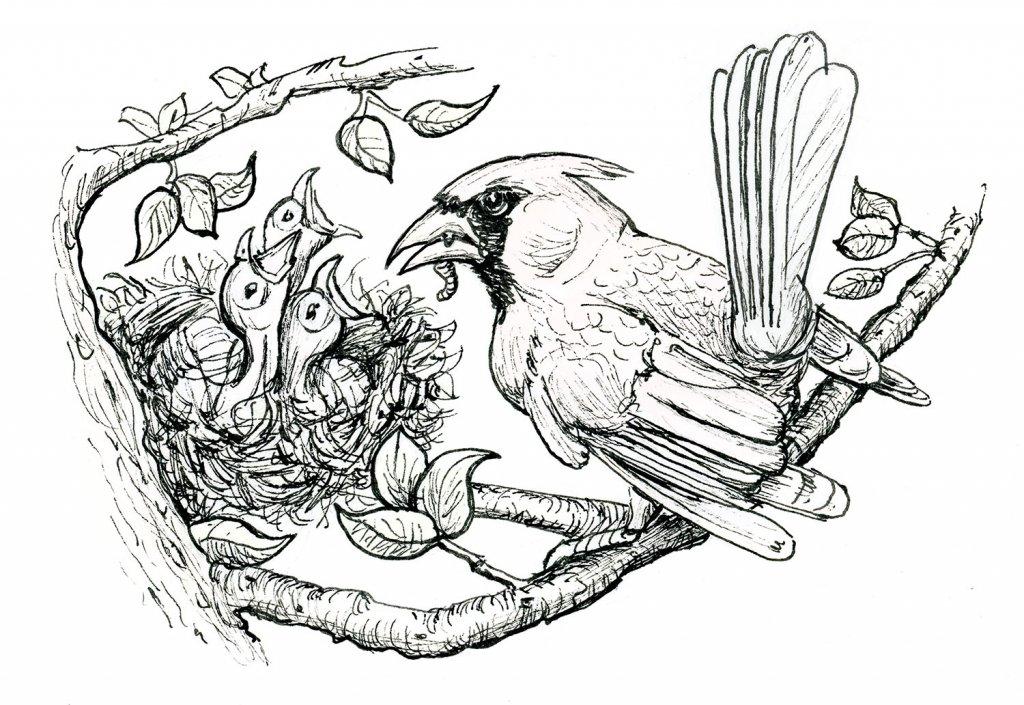 Baby Birds Cardinal Father Feeding Inktober 2019 Illustration
