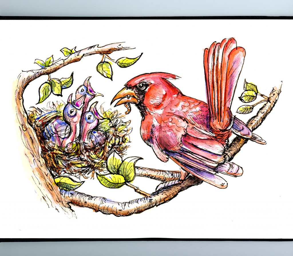 Baby Birds Cardinal Father Feeding Inktober Watercolor Illustration Sketchbook Detail