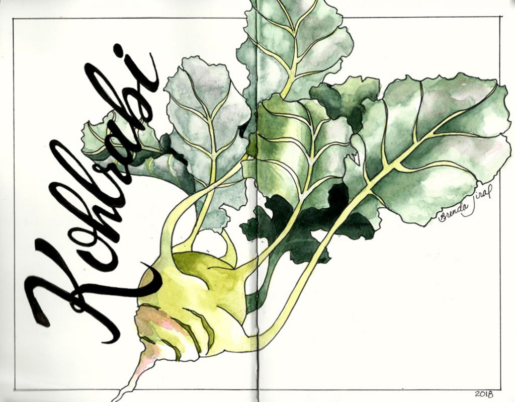 Kohlrabi watercolor Journal Sketch