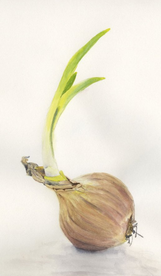 onion watercolor painting by Lori Nass