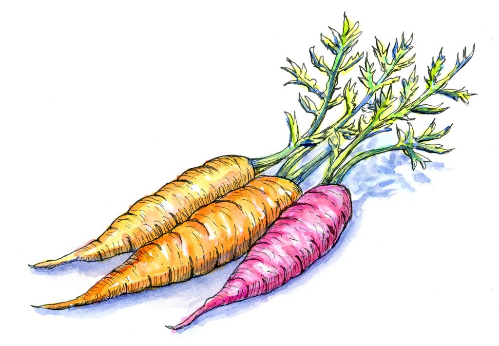 Heirloom Heritage Carrots Watercolor Painting