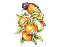Baltimore Oriole And Oranges Watercolor Illustration