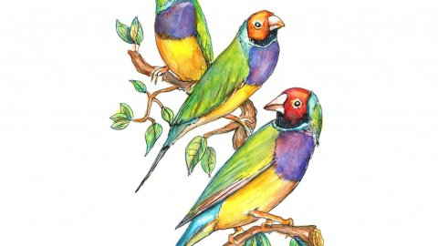 Rainbow Finch Gouldian Watercolor Illustration