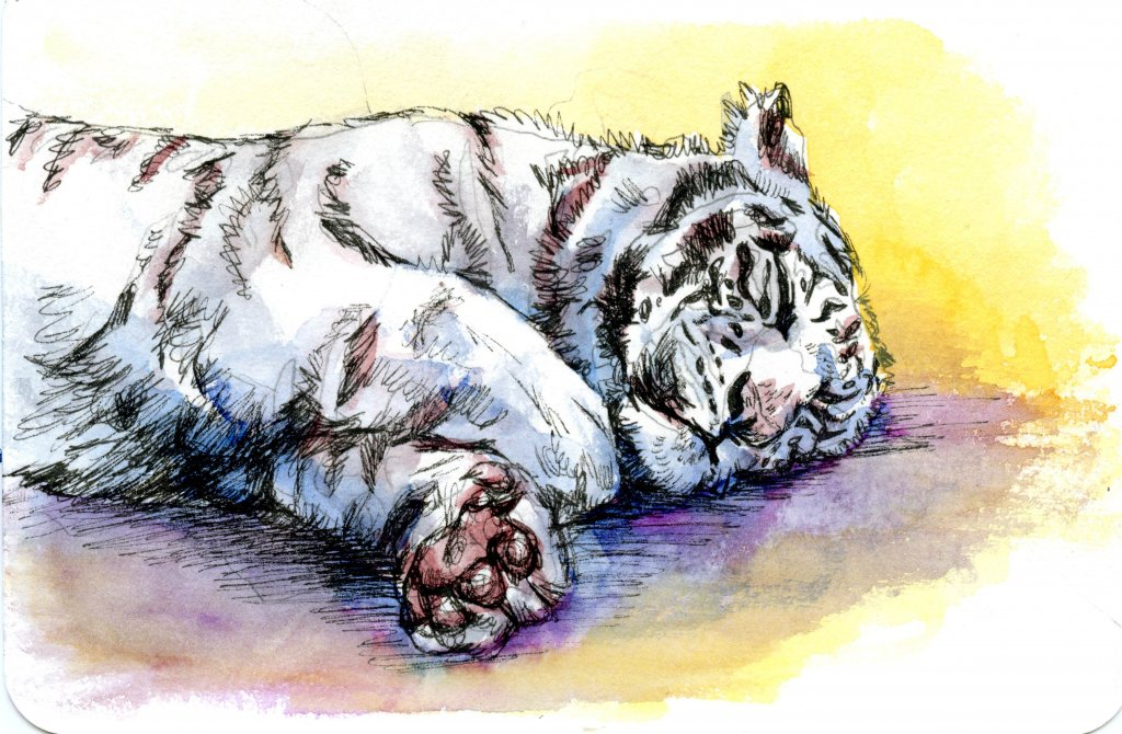 White Tiger-Did you know that the only about one in 10,000 tigers are born white in the wild? #Postc