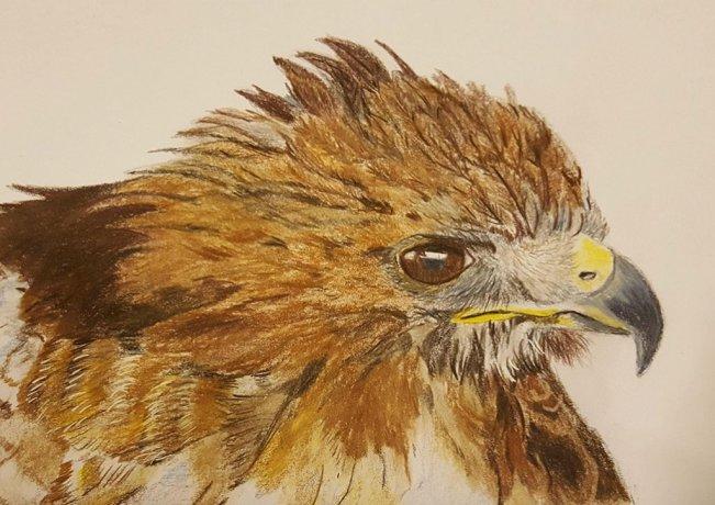 Hawk Watercolor Drawing Painting