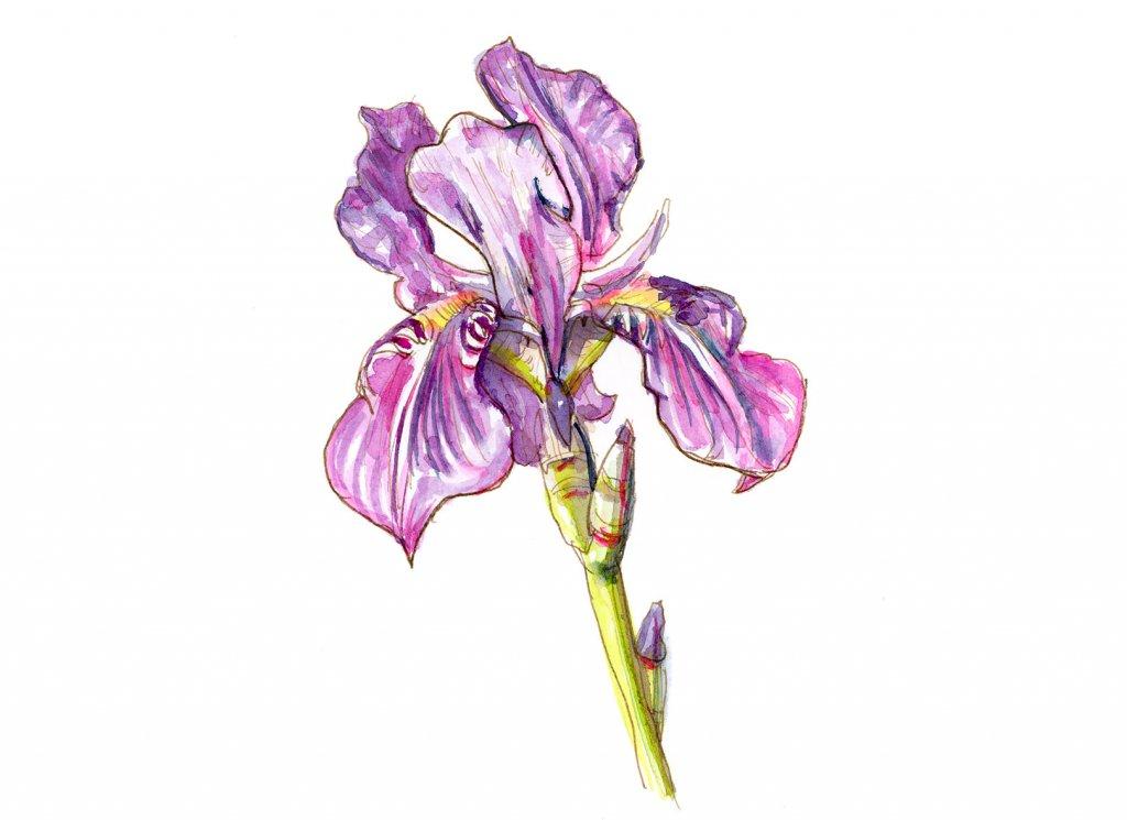 Iris Purple Flower Watercolor Painting