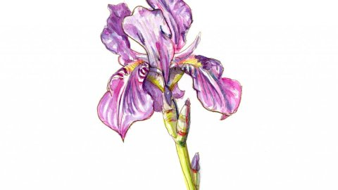 Iris Purple Flower Watercolor Painting