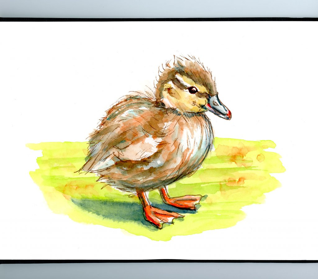 Duckling Baby Duck Watercolor Illustration Sketchbook Detail