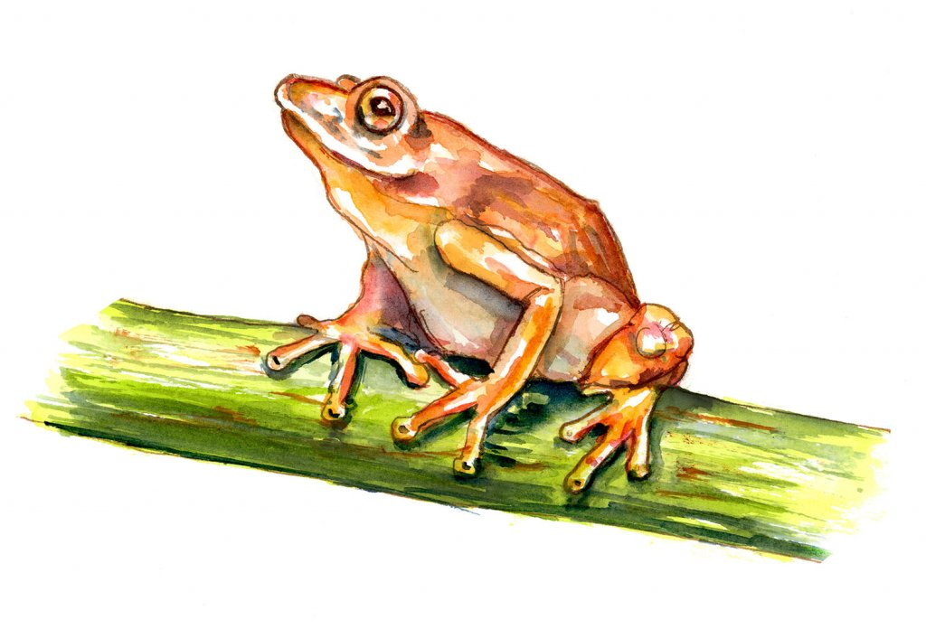 Frog On Bamboo Watercolor Painting