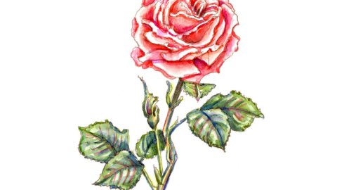 Rose Red Pink Blooming Botanical Watercolor Illustration