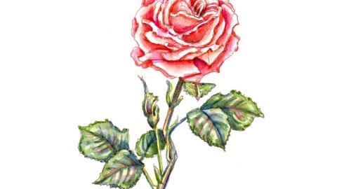Rose Red Pink Blooming Botanical Watercolor Illustration