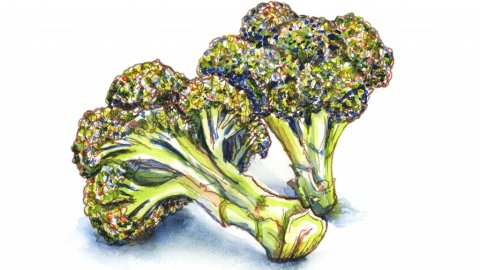 Broccoli Florets Watercolor Illustration