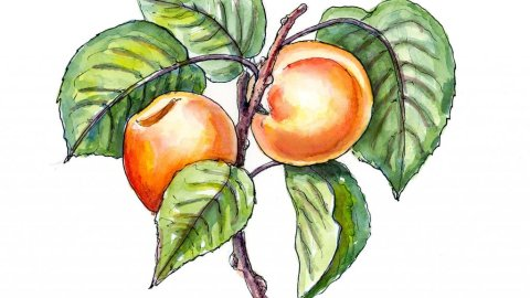 Apricots On Tree Botantical Watercolor Illustration
