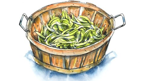 Green Beans Farm Wooden Bucket Watercolor Illustration