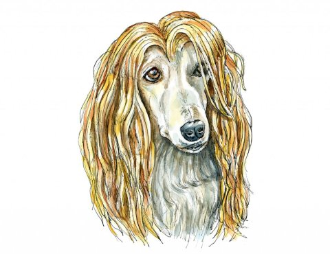 Afghan Hound Blonde Hair Watercolor Illustration