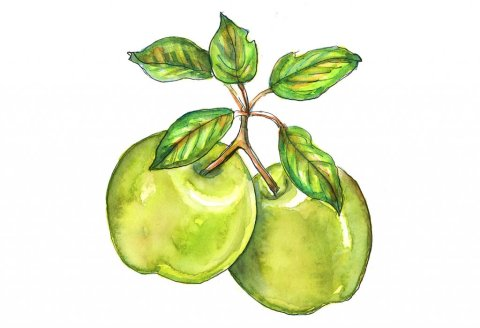 Green Apples Stems Leaves Watercolor Illustration