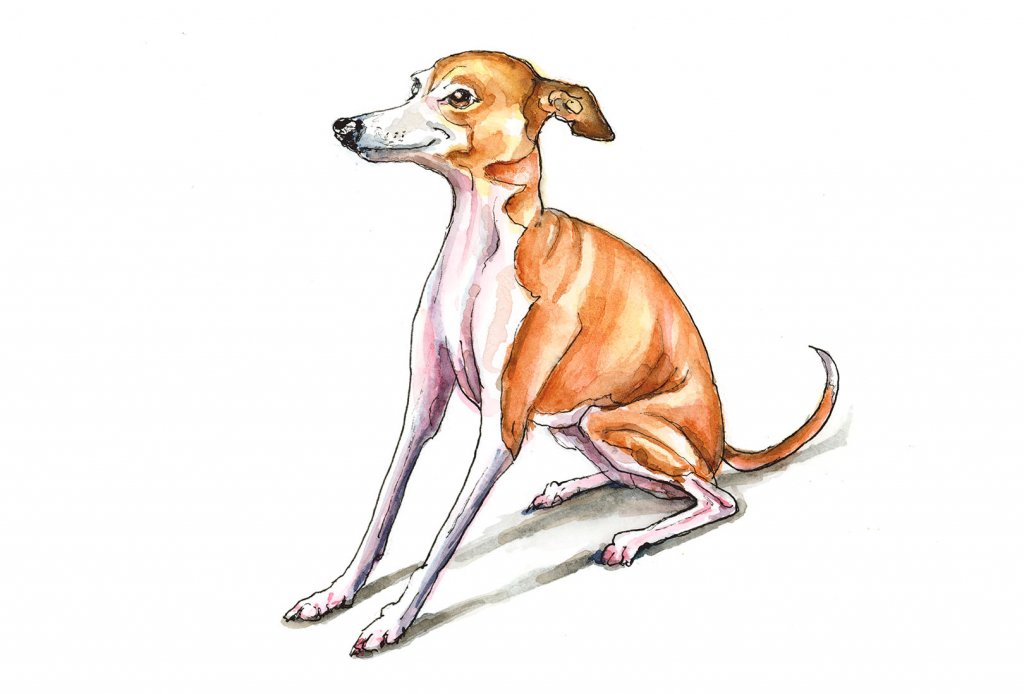 Greyhound Red Fawn Watercolor Illustration