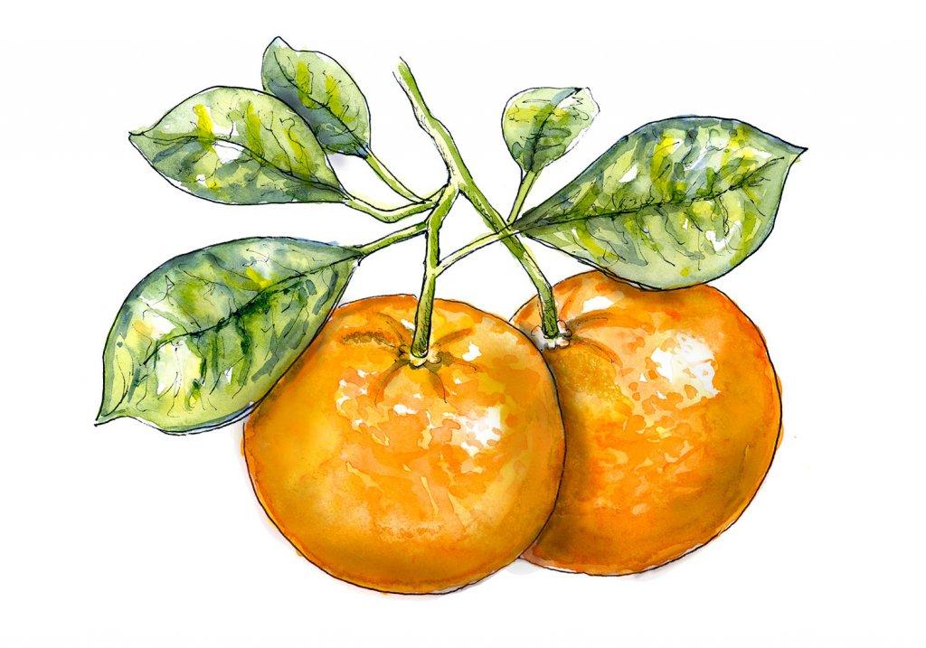Tangerine Tree Watercolor Illustration