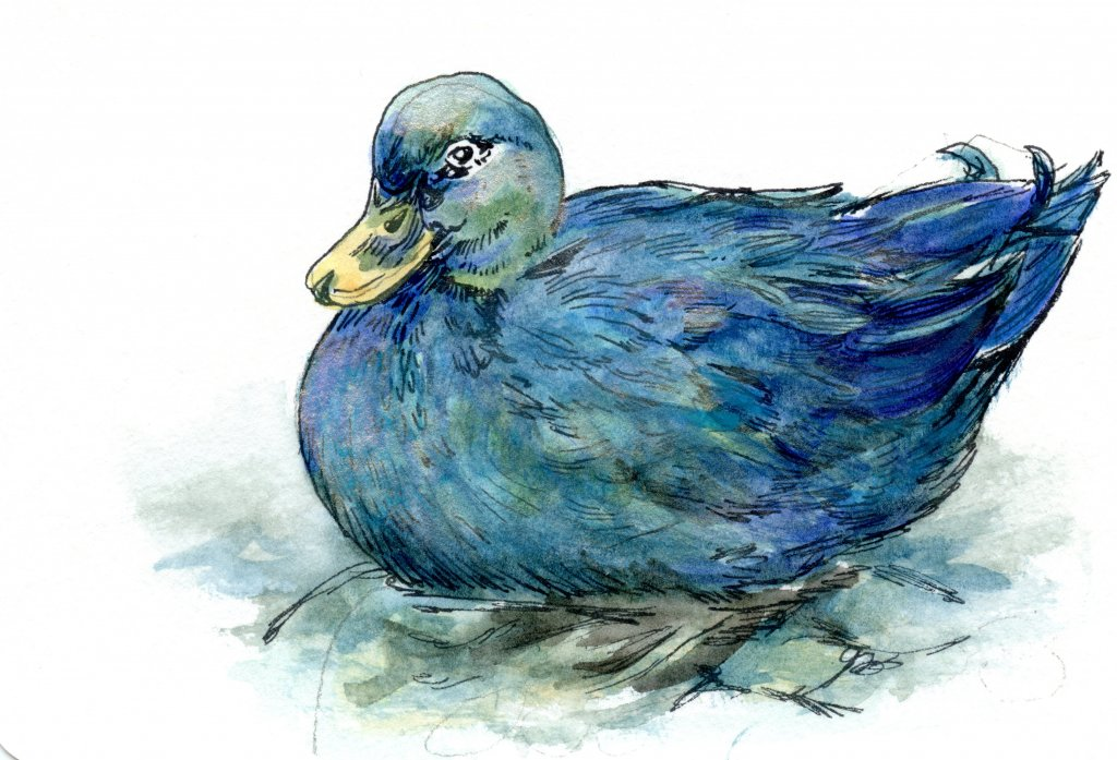 Did you know that ducks have three eyelids? One on top, one on bottom, and a clear one on the side,