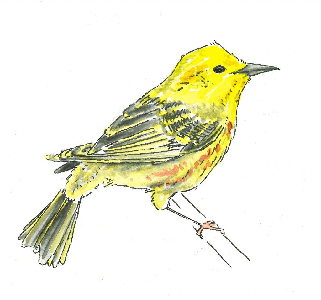 Warbler YellowWarbler