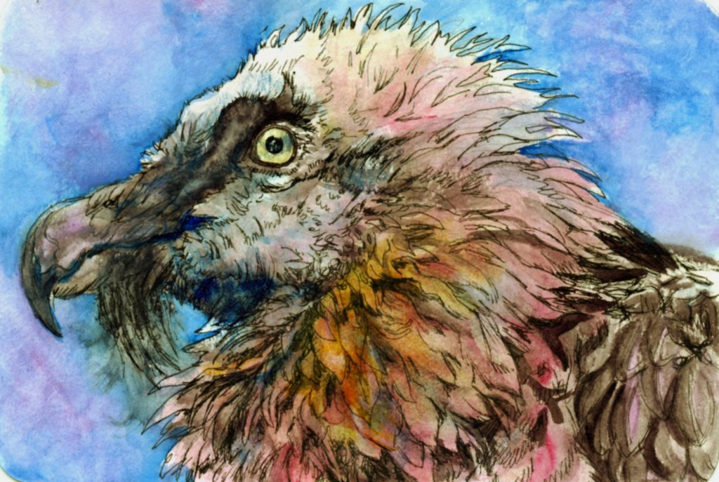 Did you know that the Bearded vulture, like the flamingo, turns pink because of is diet? In this cas