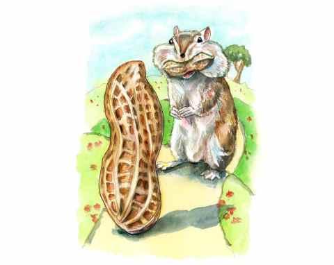 Chipmunk Eating Peanuts Cheeks Watercolor Painting Illustration