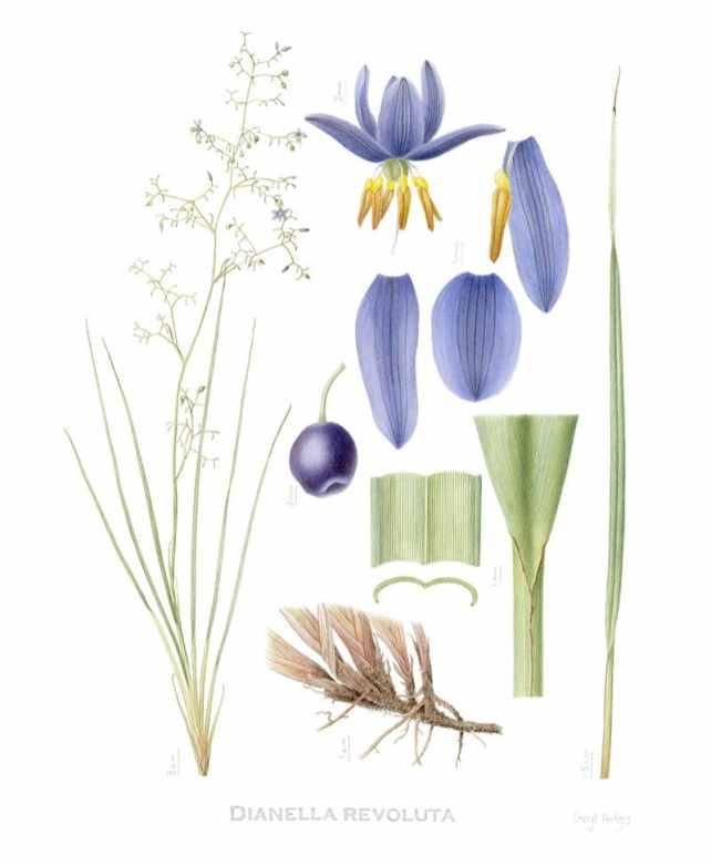 dianella revoluta Watercolor Botanical Illustration by Cheryl Hodges