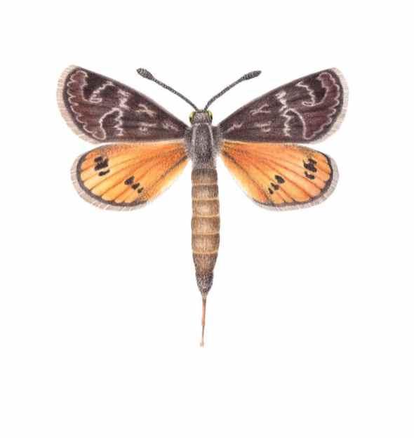 golden sun moth Illustration by Cheryl Hodges