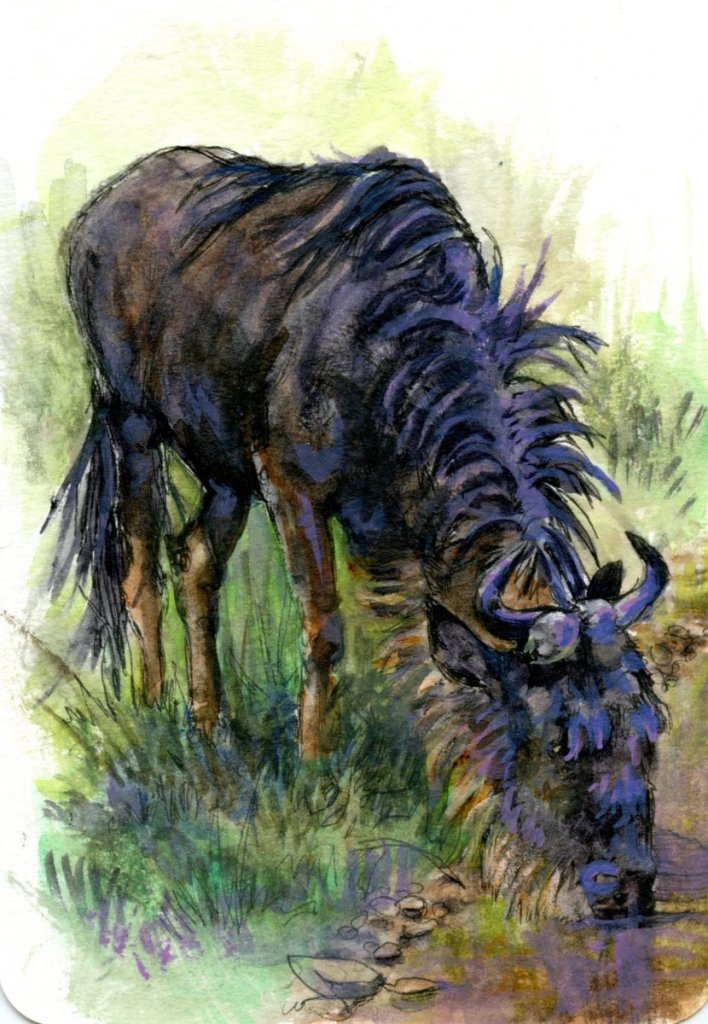 Did you know that the Blue Wildebeest often migrates with Zebras; a symbiotic relationship because z