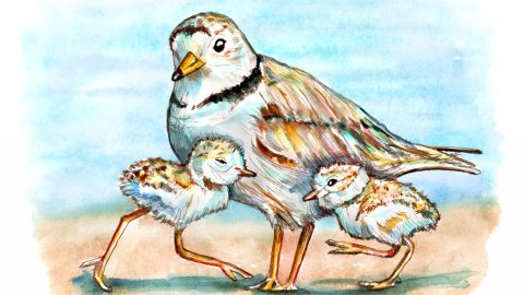 Piping Plover Chicks And Mom Shorebirds Watercolor Painting Illustration