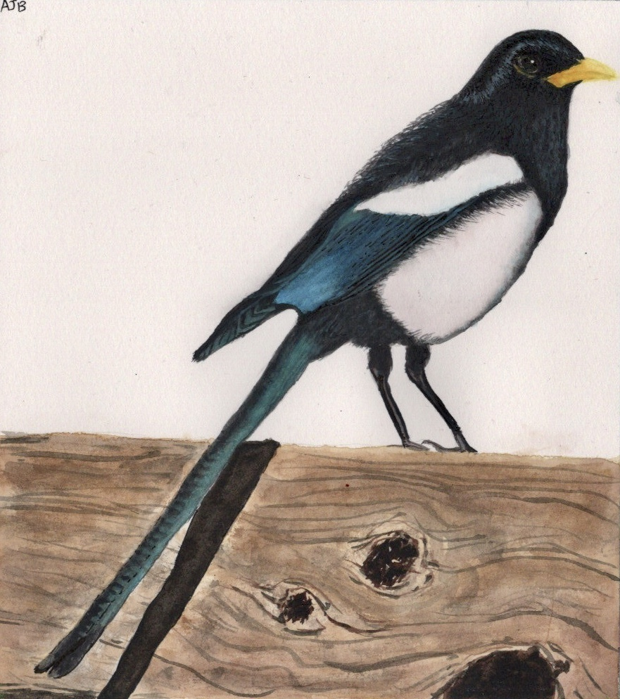 Magpie, another commission from the same client of my Etsy shop AquarellesNaturelles. F225F9FA-A58F-