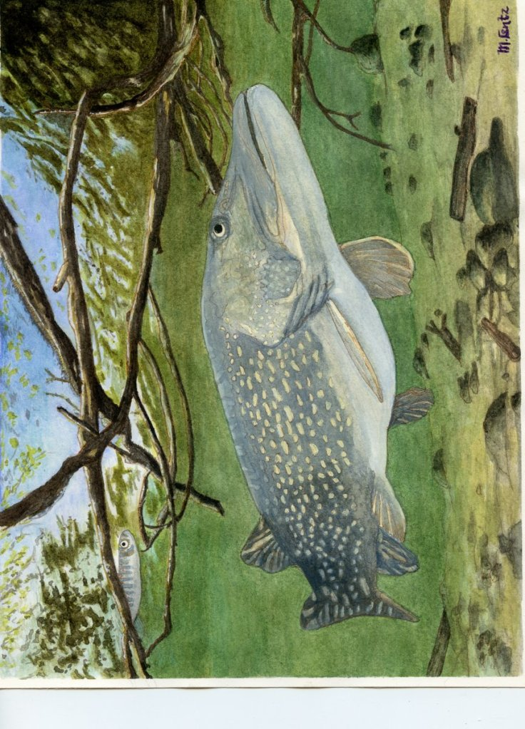 Northern Pike I did on commission: Northern Pike