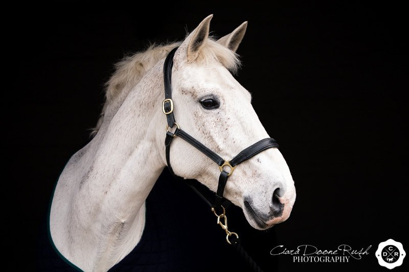 Cruz the Irish Sports Horse mare