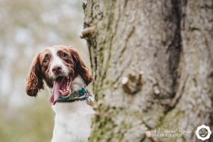 Photograph of a spaniel in marbury park
