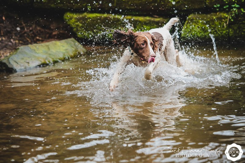 spaniel aplashing through the lake at marbury park