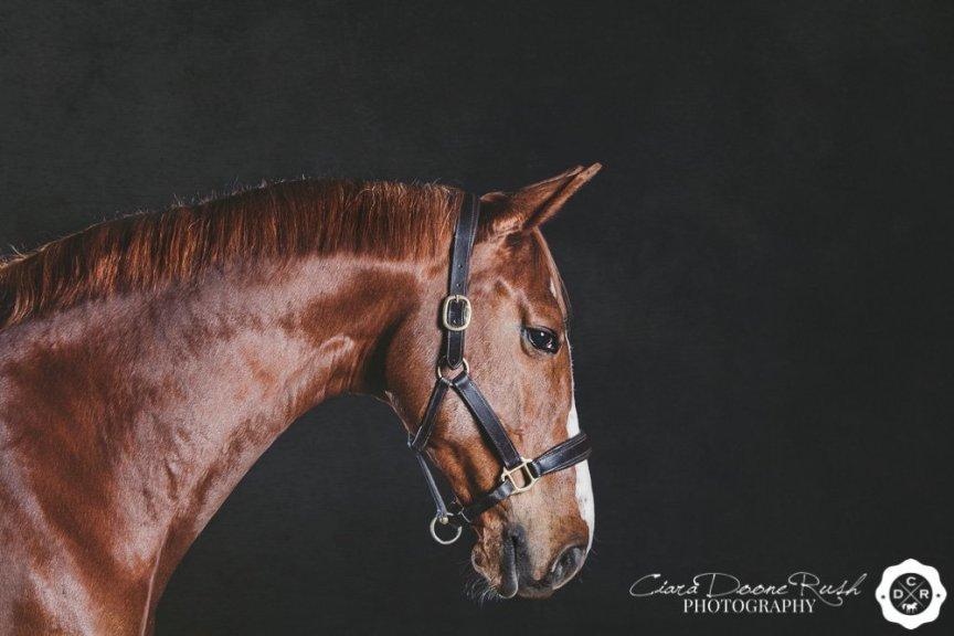 horse in a photo studio